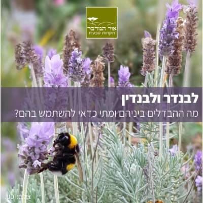 lavender article